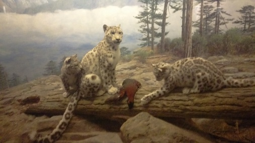 Field Museum in Chicago, IL, Leopard family display.