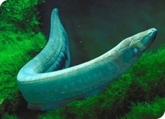 Electric eel. Not a true eel.