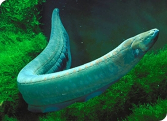 Electric eel. Not a true eel.