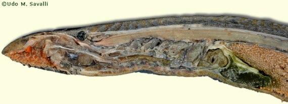 lampreyplain