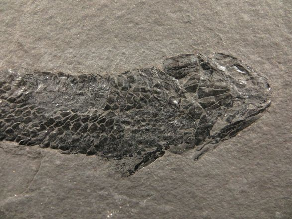 osteolepis-macrolepidotus-amazing-fossil-2-253-p